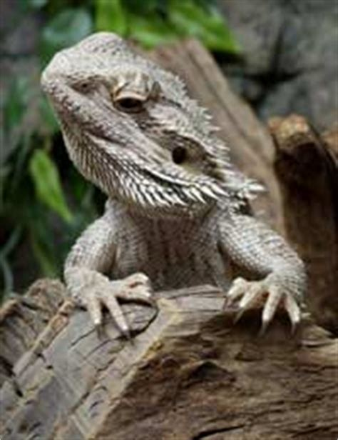 still the lizard transformation is closer than you think books how to your pet lizard