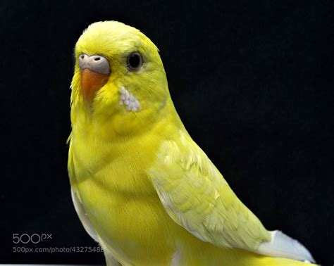 Photograph Yellow Budgie by Nate A on 500px