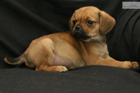 puggle puppies for sale in michigan blair puggle puppy for sale near kalamazoo michigan 67f35932 e681
