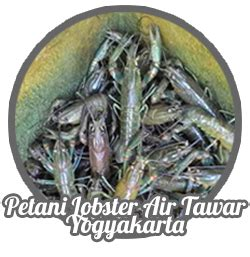 Bibit Lobster Air Tawar Jogja bibit indukan dan konsumsi lobster air tawar petani