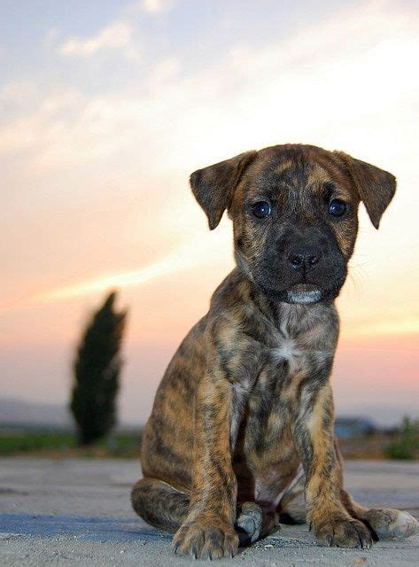 boxmas puppies for sale brindle mastiff boxers and boxer mix on
