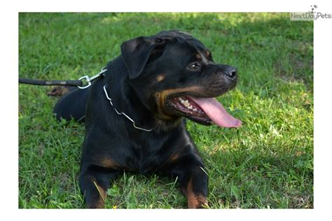 rottweiler puppies arizona rottweiler puppy for sale near arizona 2cda775a 67d1
