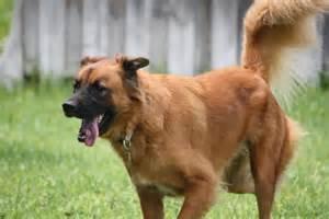 belgian sheepdog adoption lab irish setter golden retriever husky mix dog breeds