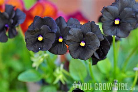 a truly black viola you grow girl
