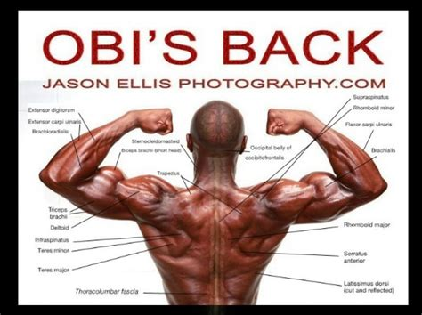 diagram back muscles back muscles anatomy anatomy of the back muscles anatomy