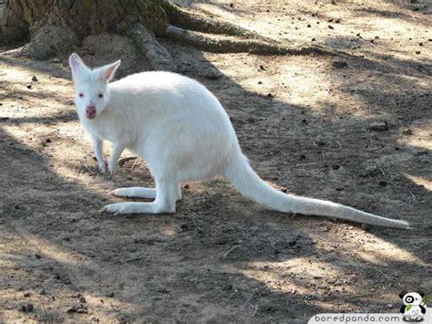 Anak Hekter No10 Kangoro kuku kata 25 gambar haiwan