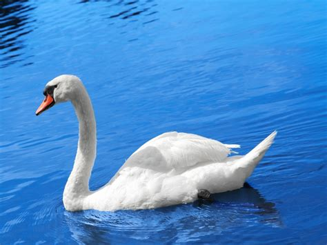 Bloues Swan Swan Hd Wallpapers High Definition Free Background