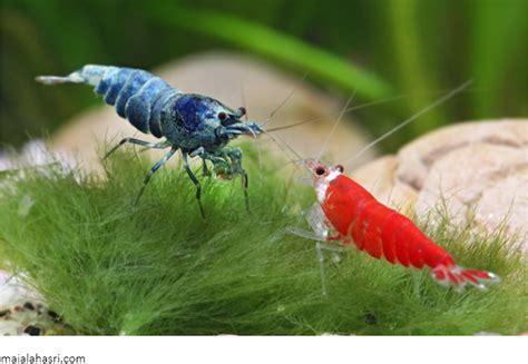 Udang Pakan Ikan Cupang ikan hias discus cara budidaya jenis perawatan serta