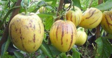 mudas de mel 227 o pera solanum muricatum deliciosa fruta