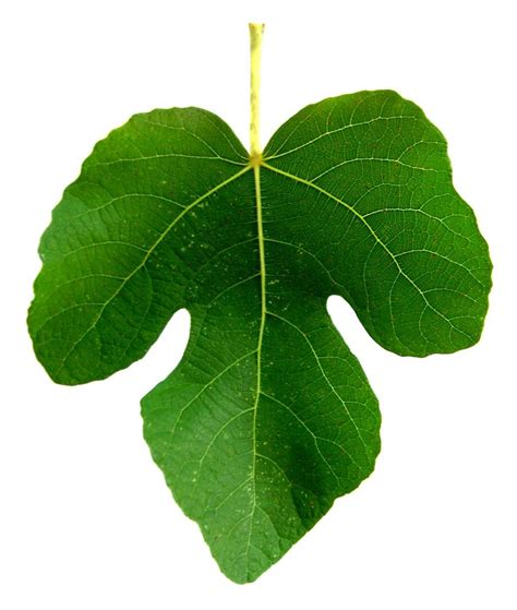 best fig top 10 fig leaf clipart drawing