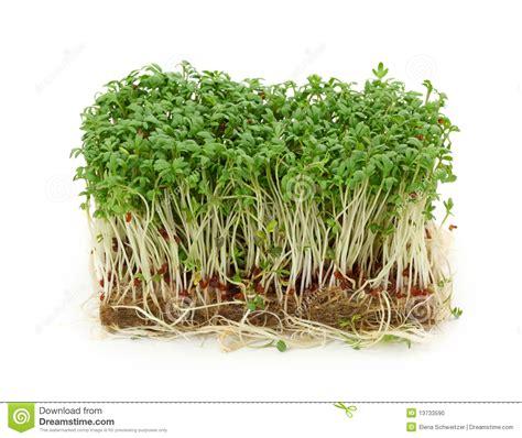 Garden Cress Stock Photo   Image: 13733590