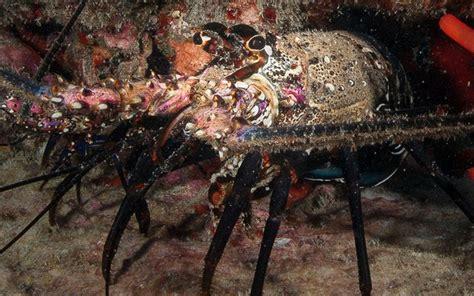 slipper crab season for lobster kona crab ends sunday