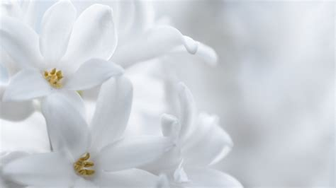 apple wallpaper white flower nawak white flowers wallpaper by pierre lagarde on deviantart