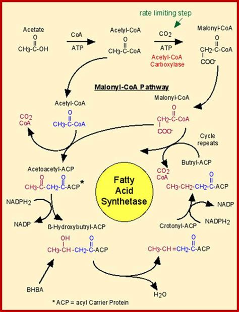 fatty acid synthesis pathway diagram lipid metabolism