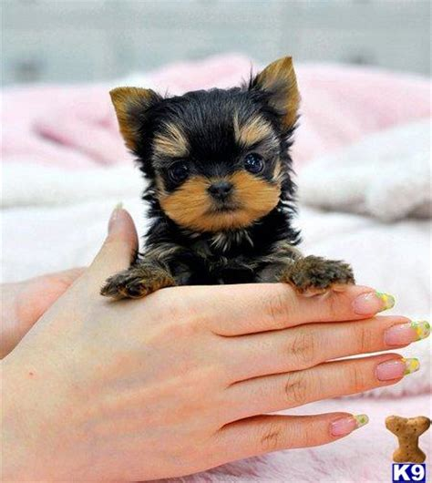 teacup yorkie puppies for sale in pittsburgh terrier dogs for sale