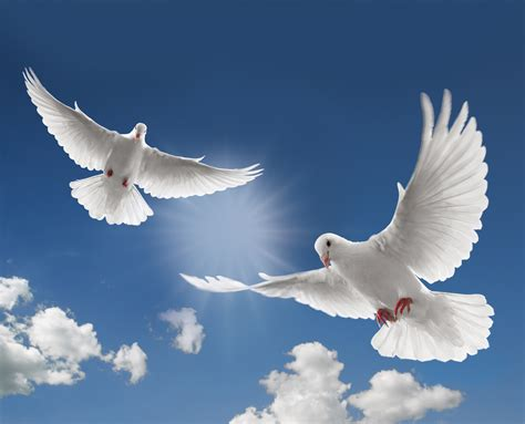 images of doves doves images doves hd wallpaper and background photos