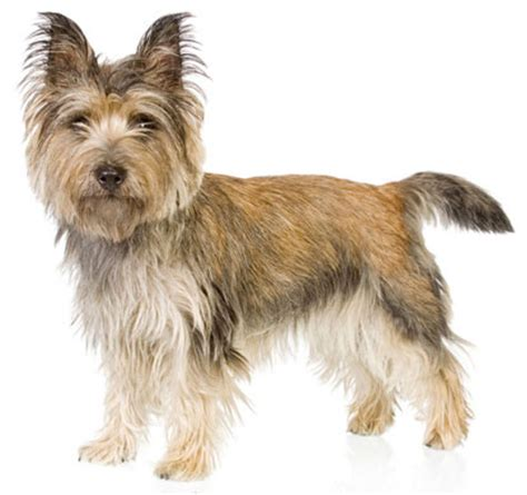 different grooming cuts for carin terriors cairn terrier dog breed history and some interesting facts
