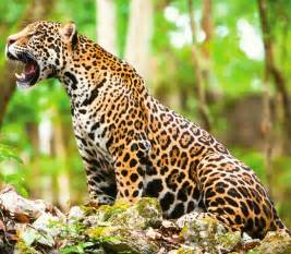 Jaguar In The Majestic Jaguar Mexico Tours