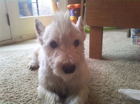 get westies hair white 92 best images about puppies and grooming on pinterest