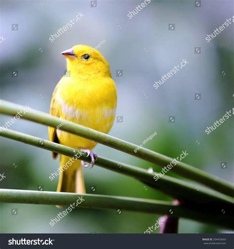 canaries bird yellow stock photos yellow canary bird in the garden stock photo 204453643