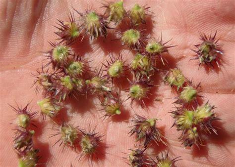 spiny burr grass, cenchrus longispinus