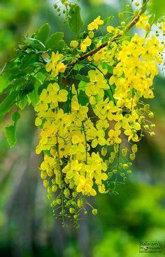 bangladeshi flowers images flowers plants garden