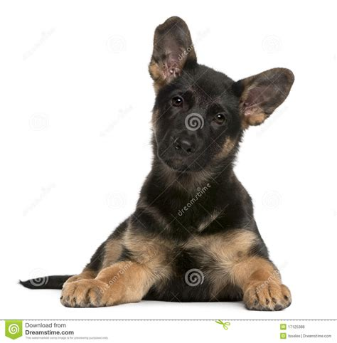 3 month german shepherd puppy german shepherd puppy 3 months lying royalty free stock photos image 17125388