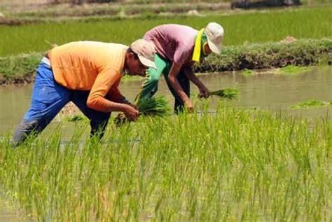 Bibit Padi tanam rendeng serentak petani kesulitan benih padi