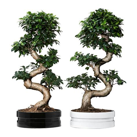 Livingroom Leeds ficus microcarpa ginseng potted plant with pot ikea