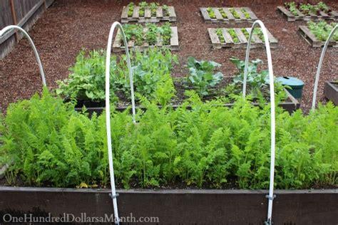 growing strawberries in raised beds mavis butterfield backyard garden pictures 5 11 14 one