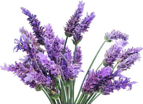 Bunga Lavender Pot 38 lavender perfume ingredient lavender fragrance and essential oils