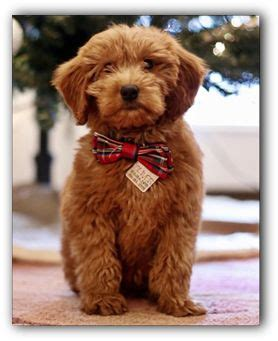mini doodles illinois 17 best ideas about goldendoodle on