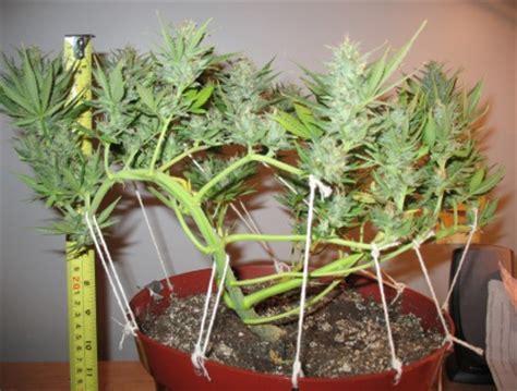 poda marihuana interior tipos de podas en plantas de marihuana growbarato net