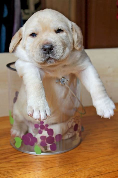 yellow lab puppy names best 25 yellow lab puppies ideas on lab puppies white lab puppies and