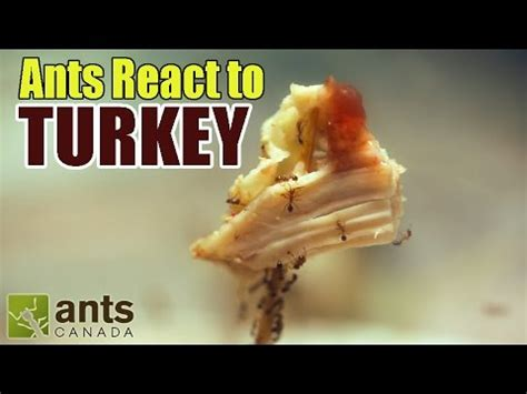 fire ants react to thanksgiving turkey + stuffing