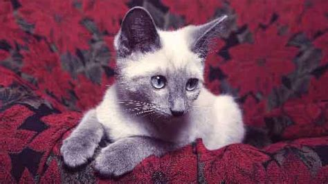 are poinsettias poisonous to dogs are poinsettias poisonous to cats petcarerx