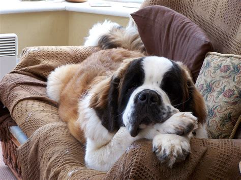 bernard couch the biggest dogs in the world there be giants the ark