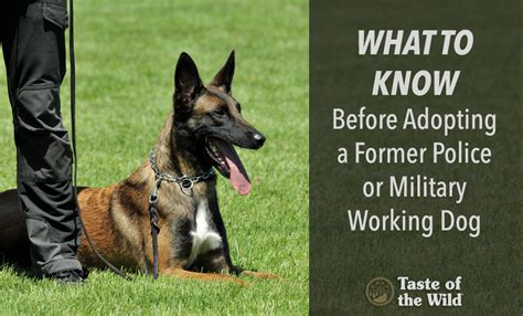 working adoption what to before adopting a former or working dogtaste of the