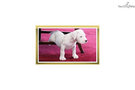 dogo argentino puppies for sale near me dogo argentino puppy for sale near minneapolis st paul minnesota a22f1d8b 3451