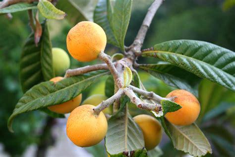 japanese plum tree fruit file eriobotrya japonica jpg1b jpg wikimedia commons