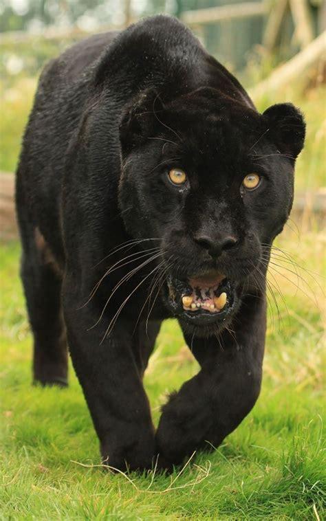 black jaguar by tenpinphil just quot quot animals