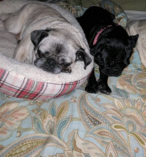 pug rescue louisiana pug nation rescue la pugnationrescue