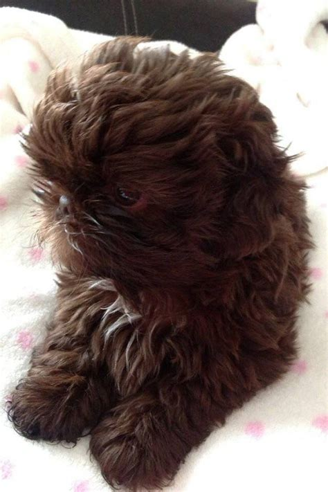 green eyed shih tzu chocolate shih tzu green breeds picture
