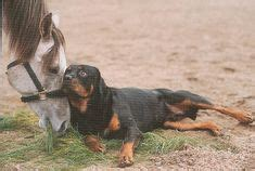 rottweiler aggressive breed 1000 ideas about rottweiler on rottweilers rottweiler puppies and