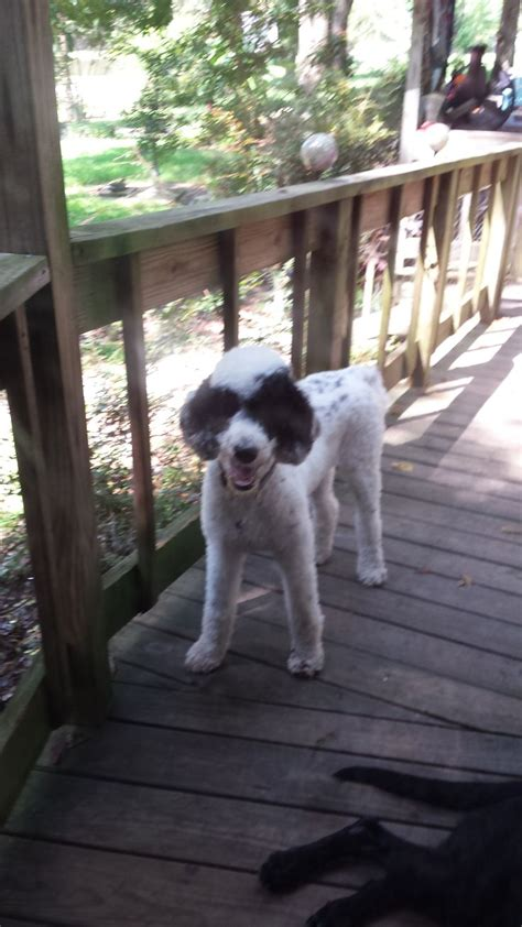 multi poodle lifespan 17 best images about multi colored poodles you to