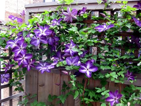 Best Trellis Tips For Planting Care And Cutting Clematis Climbing