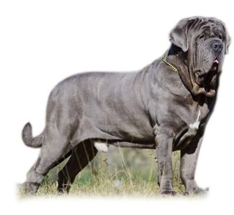 mastiff puppies rescue neapolitan mastiff puppies for adoption goldenacresdogs
