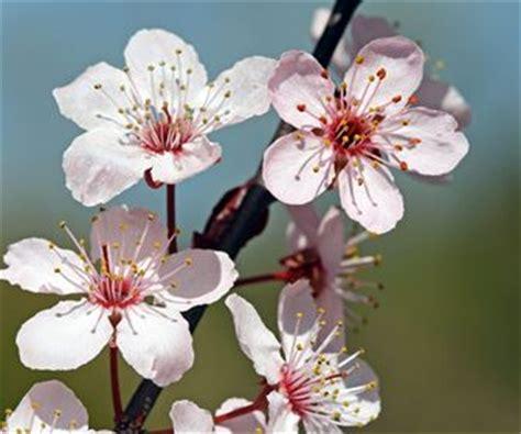 Cherry Blossoms by Fiori