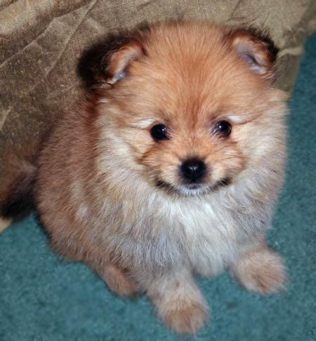 yorkie mix zoe the yorkie pomeranian mix puppies daily puppy