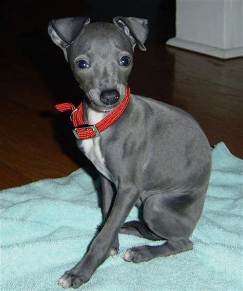 mini greyhound puppies miniature italian greyhound not in the housenot in the house